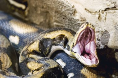 Opened mouth Python snake close up shot in a zoo.