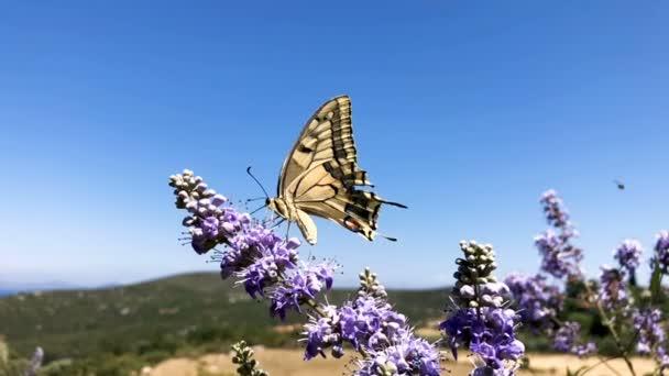 Sárga pillangó közelről a levendula és a kék ég háttér. Lassú mozgás teljes hd felvétel.