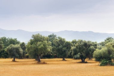 Landscape view of olive tree field with cloudy sky.