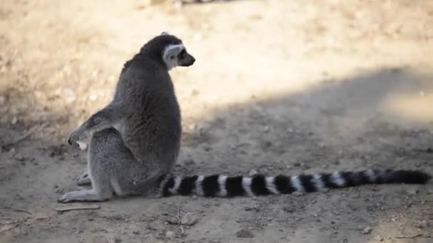 Ring tailed Lemur sitting on the ground and looking around in the zoo.