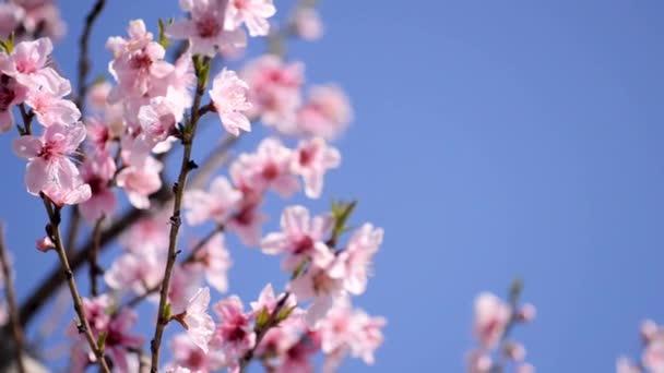 Růžové barevné květy v jarní sezóně na modrém nebeském pozadí.