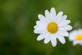 Close up shot of a daisy on a green background.
