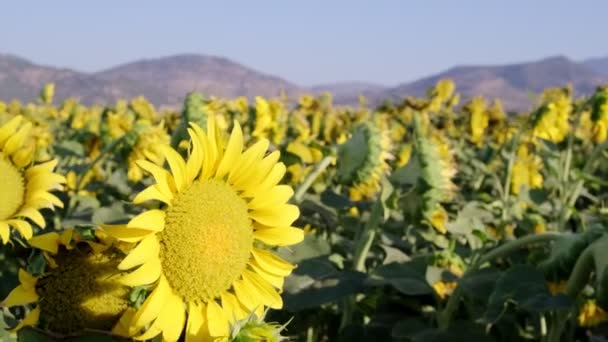 Close up footage of a sunflower in the sunflower farm with a pedestal camera movement.