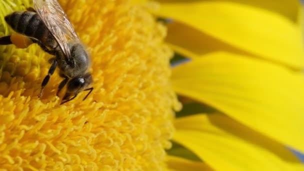 Közelkép egy napraforgóról, amin egy méh porzik a napraforgómezőn..