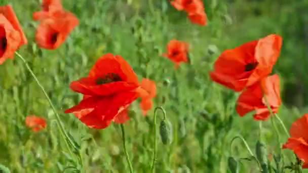 Kvetoucí makové pole Papaver Rhoeas ve větru, na slunečném denním makovém poli Papaver Rhoeas ve větru, za slunečného dne
