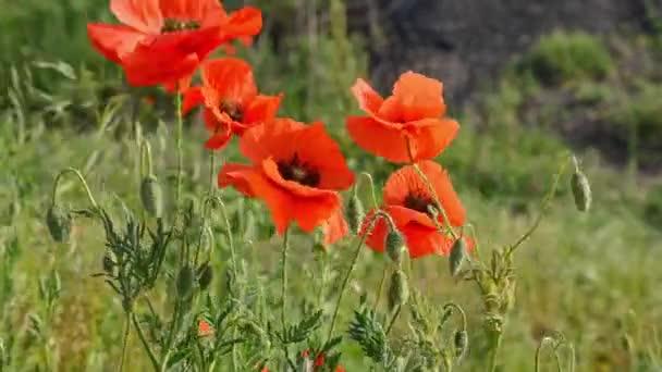 Kvetoucí makové pole, Papaver Rhoeas, ve větru, za slunečného dne