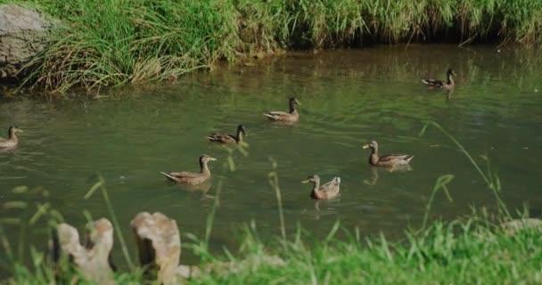 Kacsák úszkálnak a nyári parkban. Lassú mozgás 4k