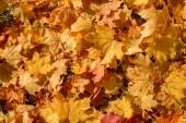 Žluté podzimní Javor dlanitolistý zanechává pozadí