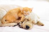 Fotografie Kočka a pes spí. Štěně a kočičko spánek.