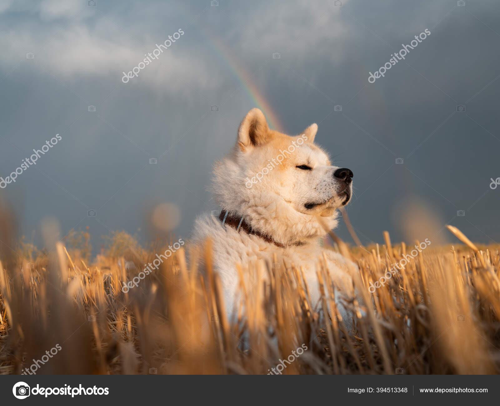 Sebuah Akita Inu Ladang Gandum Yang Baru Dibuat Seekor Anjing Stok Foto C Josecarlosichiro 394513348