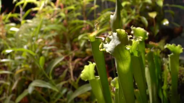 Masožravé rostliny rosnatky, mucholapka podivná, sarratseniya
