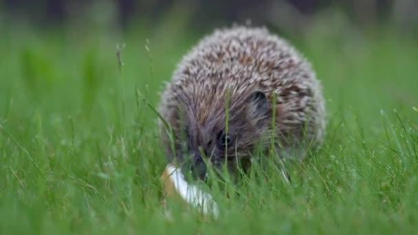 Kis sündisznó zöld fűben eszik. Közelről. A vadon élő állatok természetének fogalma