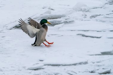 A duck flies and lands on a winter snow-covered river.