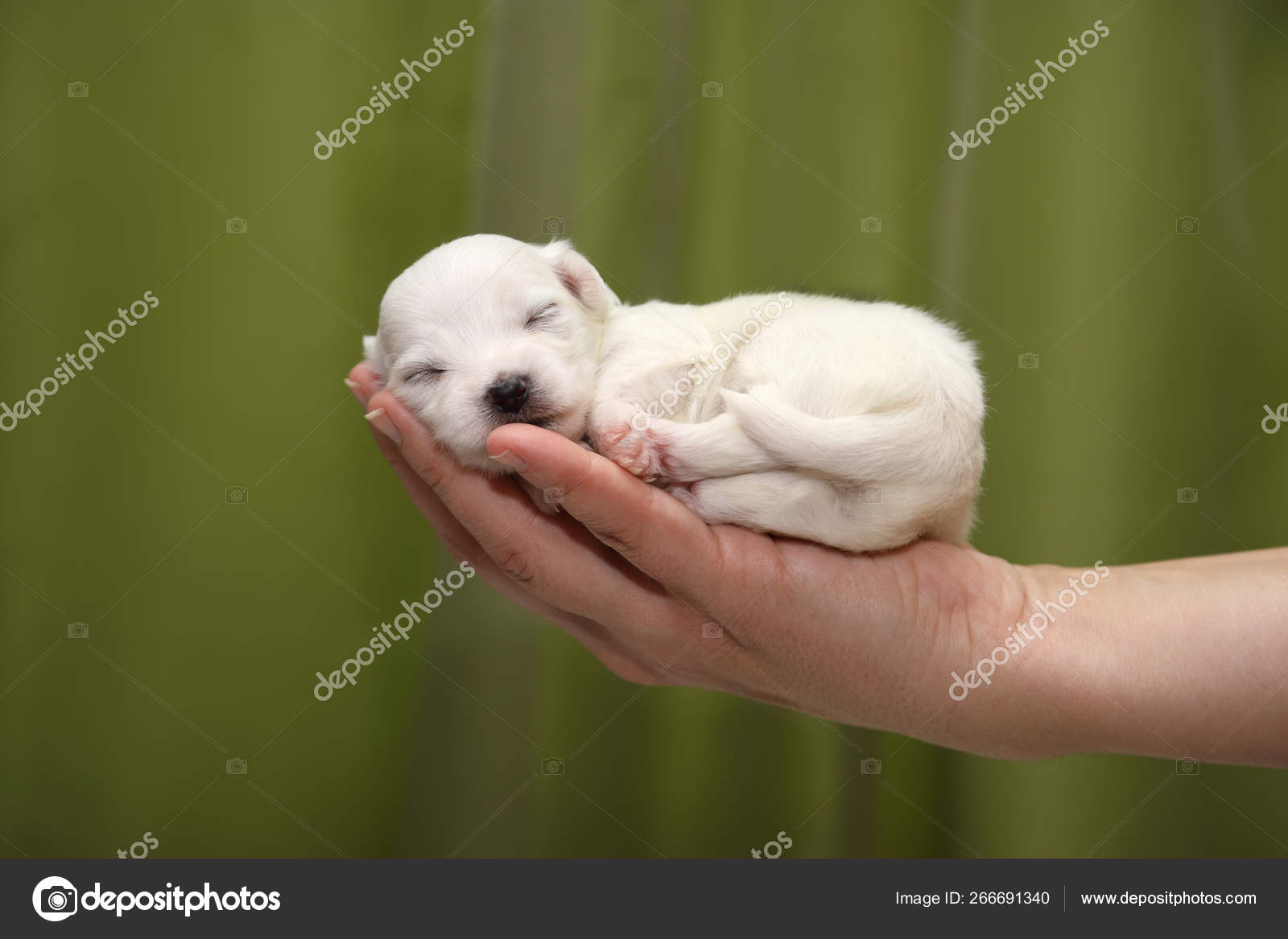 Cute Maltese Puppy One Month Old Sleeping Woman Palm Green Stock Photo C Likstudio 266691340
