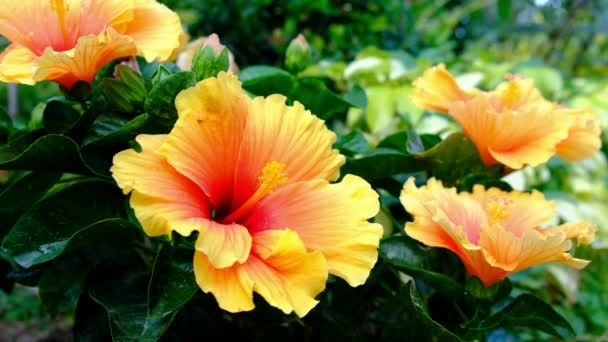 Színes Hawaii hibiscus a kertben