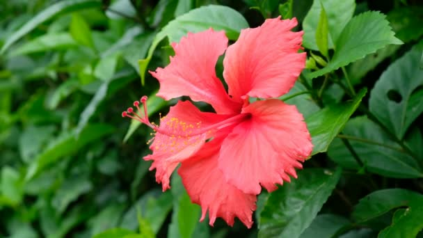 Hawaii hibiszkusz, imbolygott a szélben
