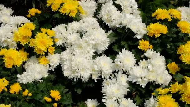 Chrysanthemum květiny v zahradě