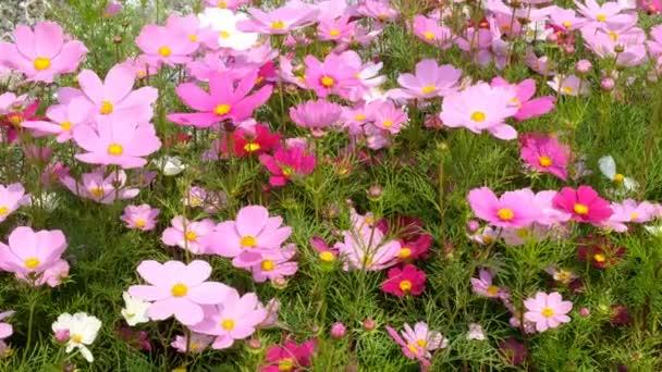 Krásný červený a růžový Kosmos květiny