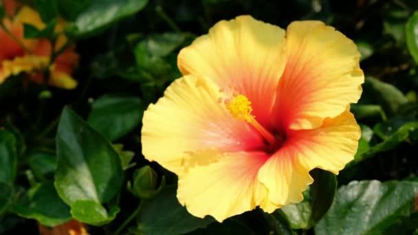 Hawaii hibiszkusz a kertben