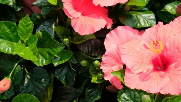 Red Hawaii hibiszkusz a kertben
