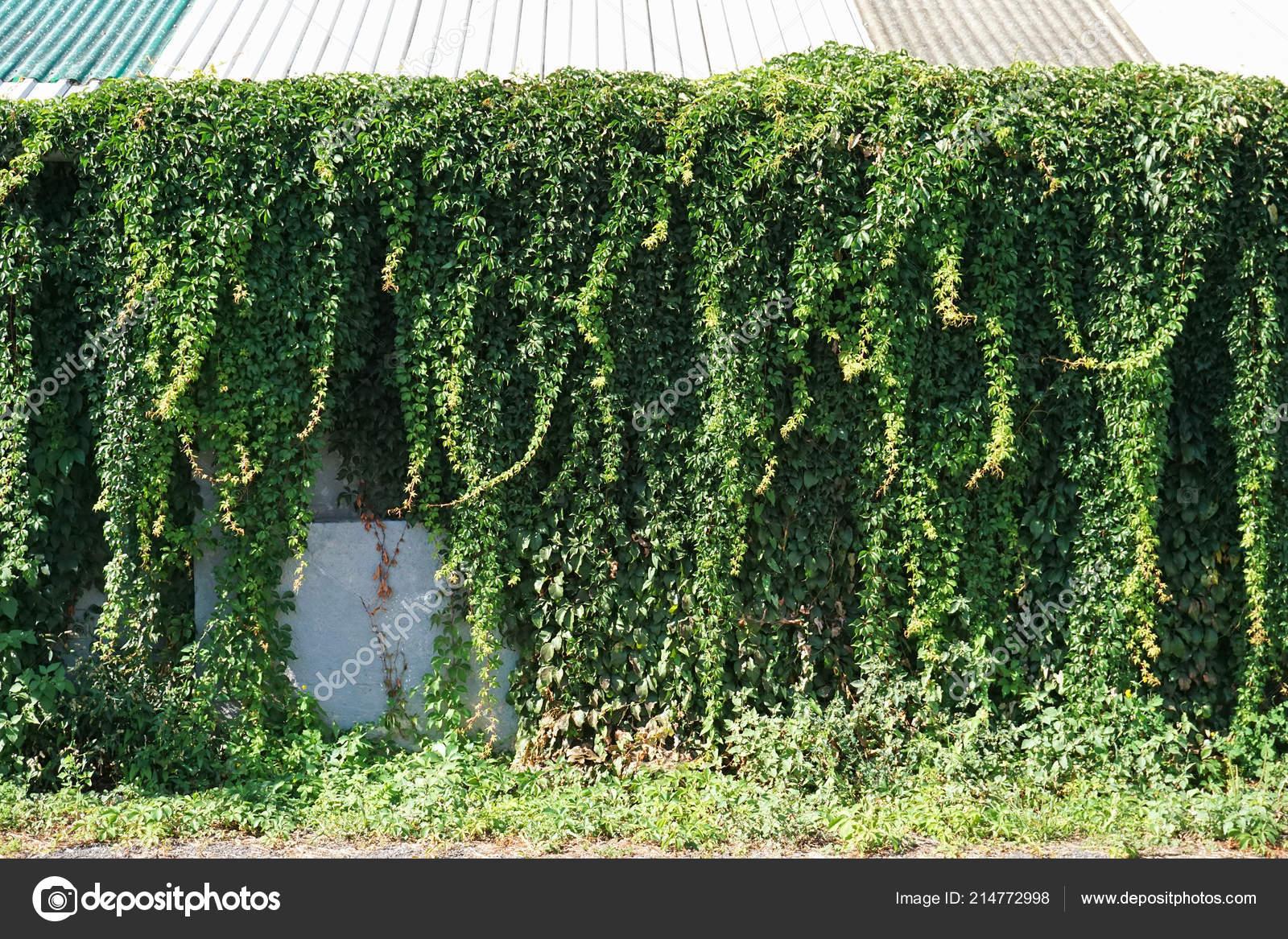 Climbing Plants Wall Building Stock Photo C Majorosl66 214772998