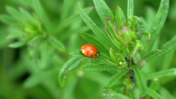 Beruška sedí na kytce. Aphids na zelené trávě. Divoká zvěř zblízka.