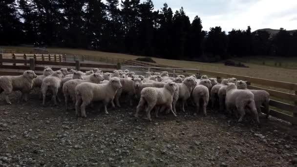 Stádo ovcí na farmě na Jižním ostrově, Nový Zéland
