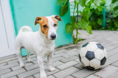 Cute dog with soccerball in the yard in the village.