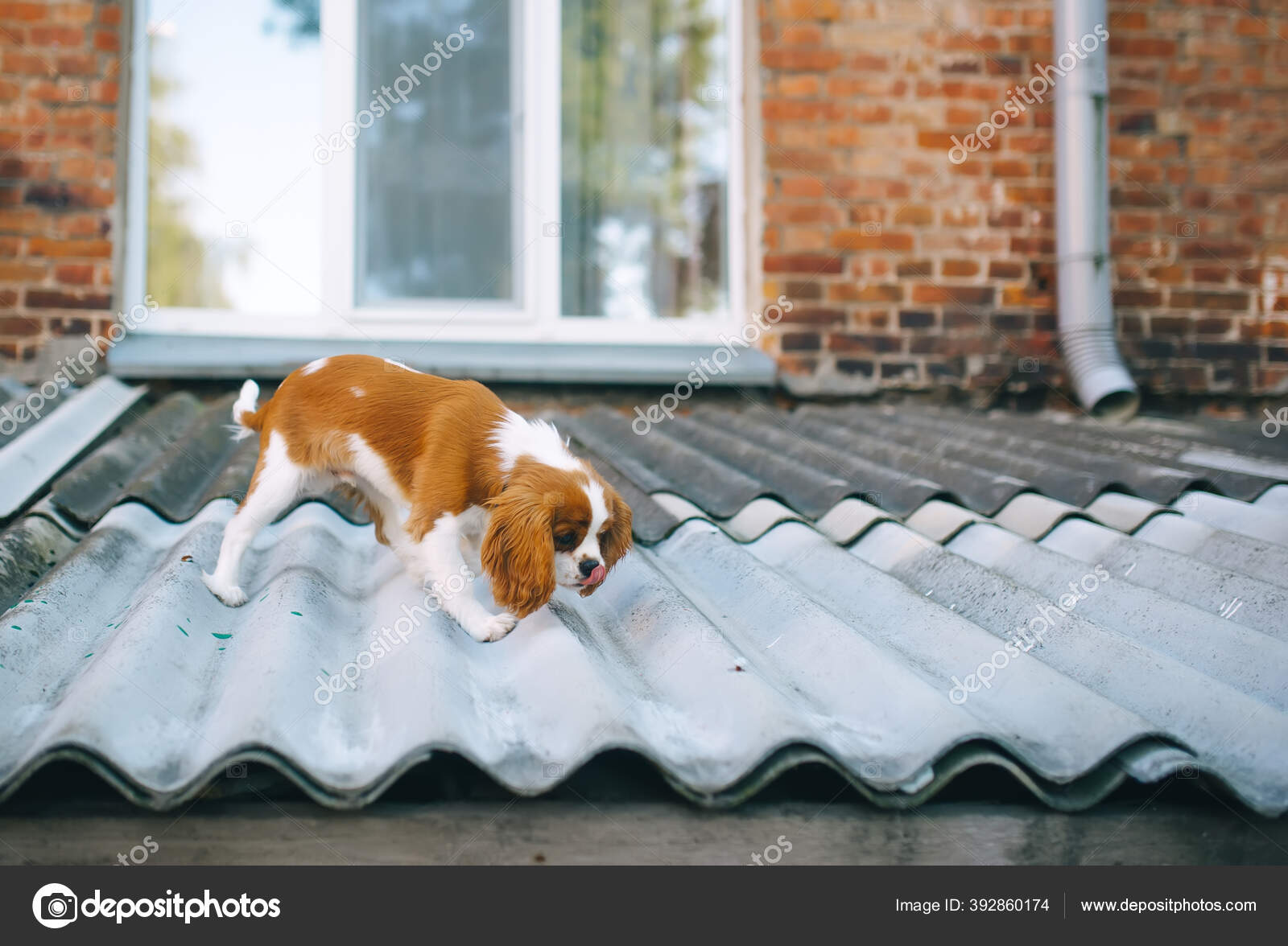 Photo Cute Cavalier King Charles Spaniel Puppy Walking Slate Roof Stock Photo C Avk78 392860174