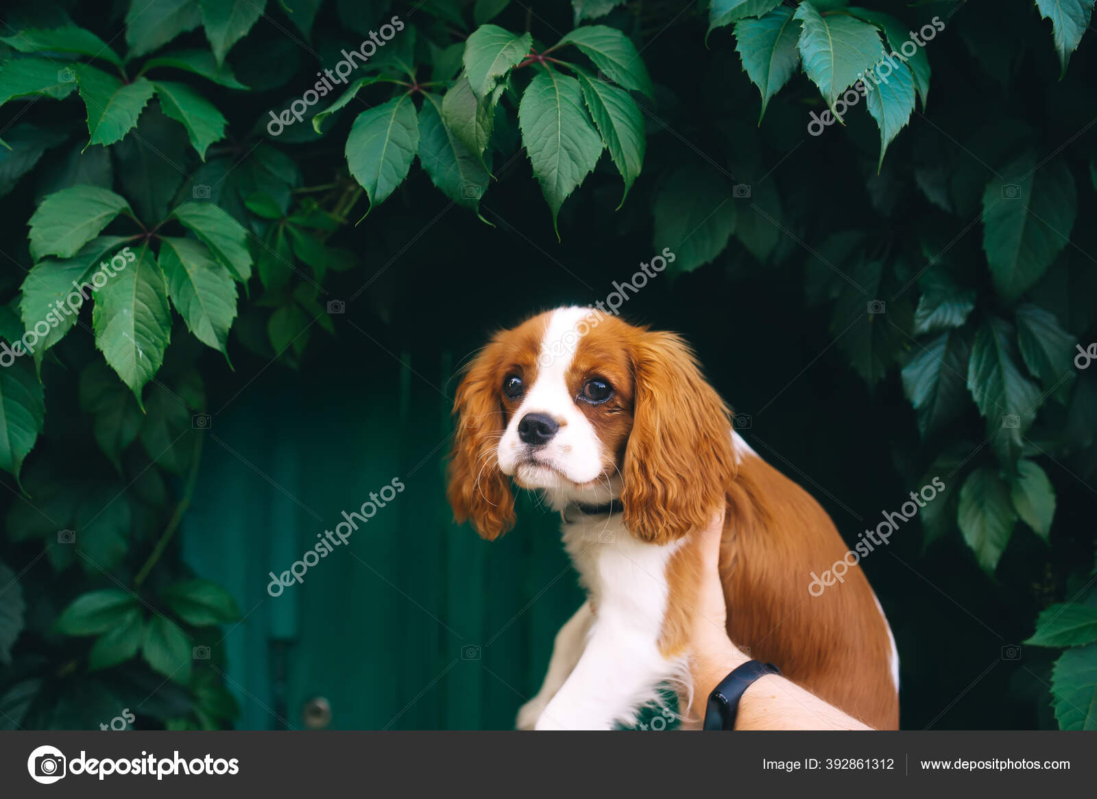 Cute Cavalier King Charles Spaniel Puppy Outdoors Woman Hands Green Stock Photo C Avk78 392861312