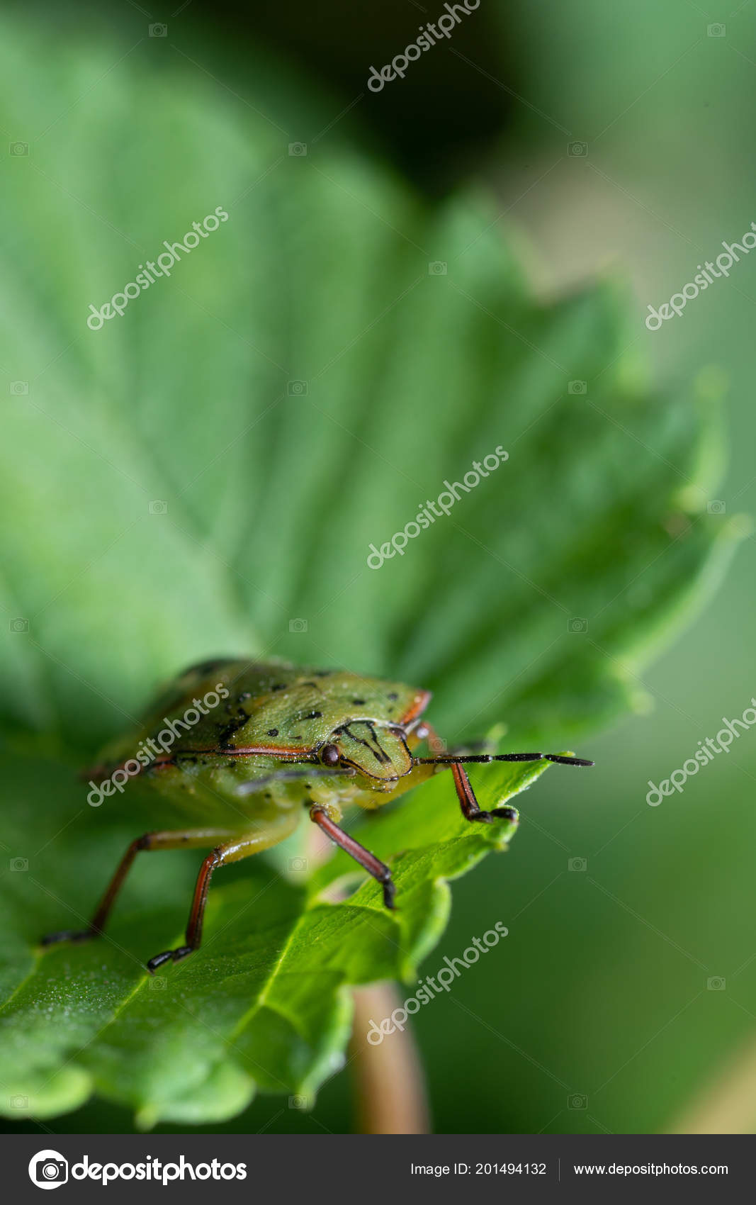 Green Bedbug Leaf Close Stock Photo C Vpardi 201494132