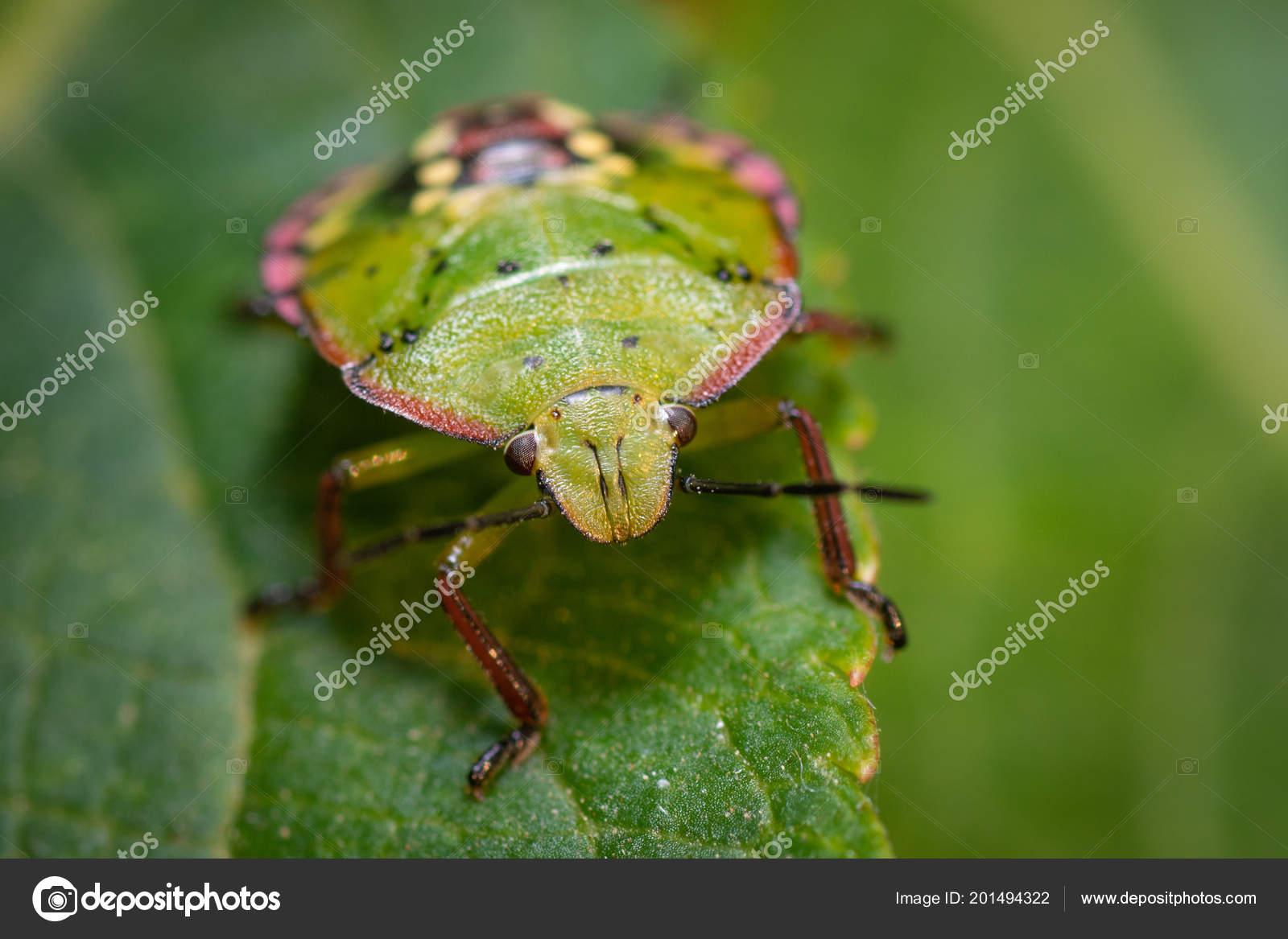 Green Bedbug Leaf Close Stock Photo C Vpardi 201494322