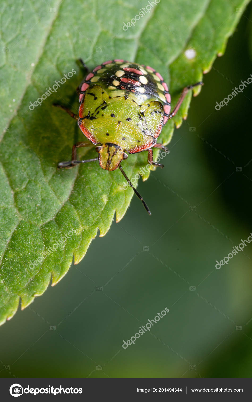 Green Bedbug Leaf Close Stock Photo C Vpardi 201494344