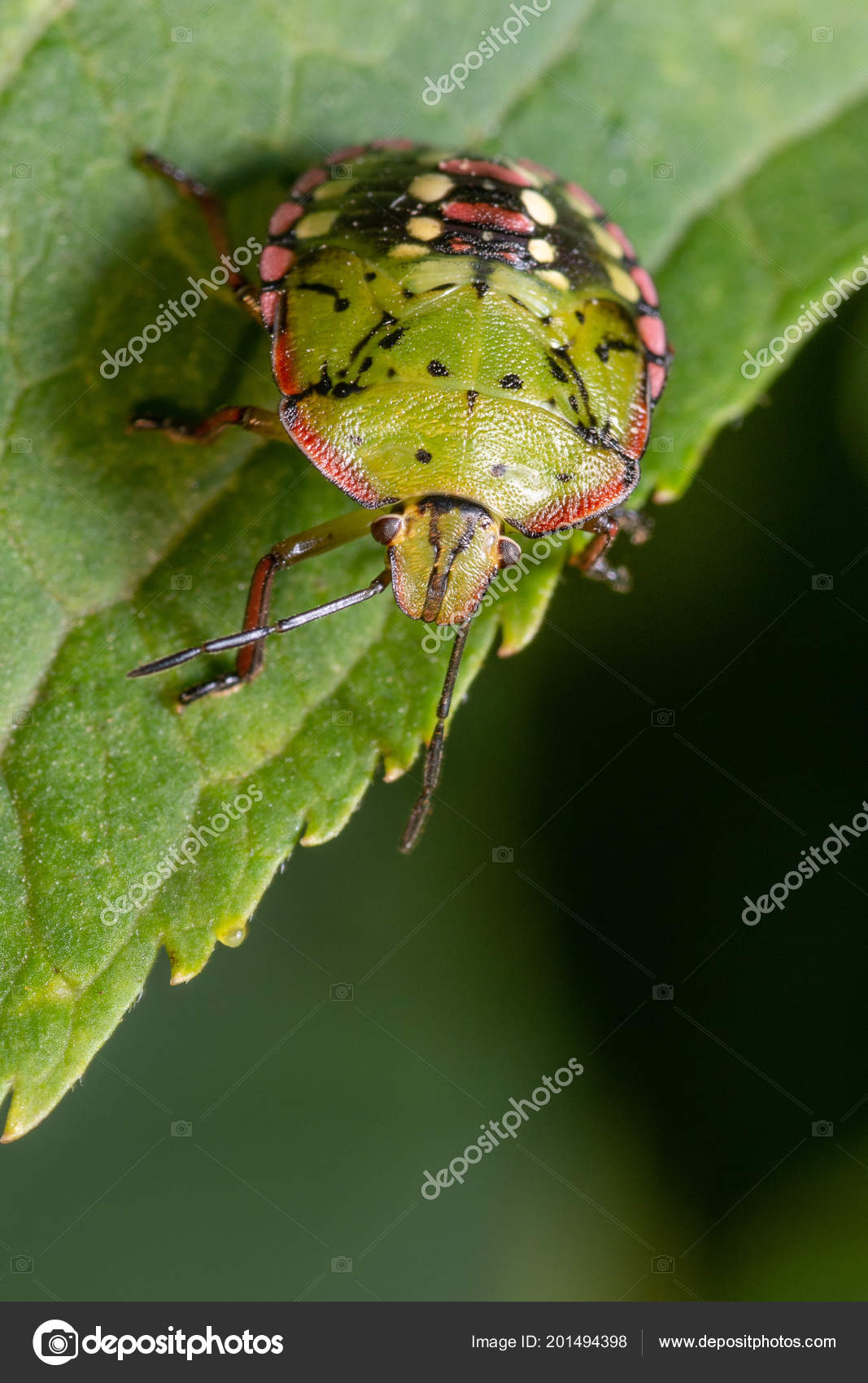 Green Bedbug Leaf Close Stock Photo C Vpardi 201494398