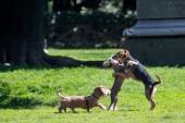 Glückliche Hunde spielen auf dem Rasen im Park