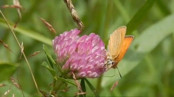 Schmetterling sitzt im Gras Nahaufnahme