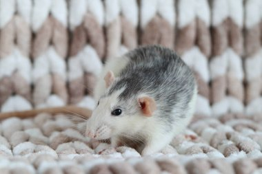 Rat close-up macro sitting on a knitted plaid
