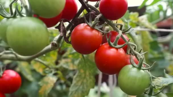 Zweig der roten Kirsche, der in einem Gewächshaus wächst. reife Tomaten, die auf einem Gartenbaubetrieb wachsen. Biologische Ernte, Landwirtschaft, Landwirtschaft. An der Pflanze hängen grüne, unreife Tomaten. Rohes Bio-Öko-Gemüse..