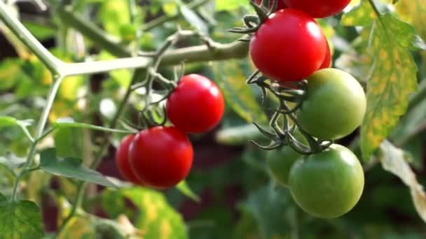 rote frische Tomaten, die in einem Gewächshaus angebaut werden. frische Kirschzweige, die auf einem Bauernhof wachsen. Biologische Ernte, Landwirtschaft, Landwirtschaft. Nahaufnahme einer grünen, unreifen Tomate, die in einem Garten an der Pflanze hängt. Rohes Bio-Öko-Gemüse