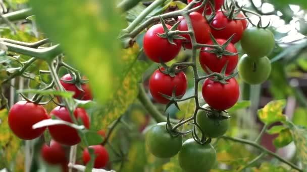 zralá rajčata pěstovaná ve skleníku. čerstvé třešňové větve rostoucí na farmě. Ekologická sklizeň, zemědělství, zemědělství. Zavřete zelené nezralé rajče visící na rostlině v zahradě. Syrová ekologická zelenina