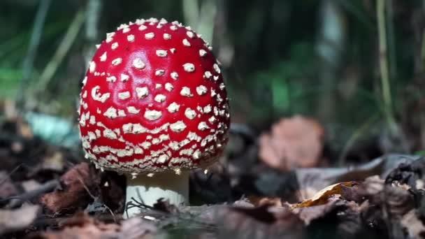 Roter Fliegenpilz im Herbstwald. Fliegenpilz wächst im Moos. Giftfliegenpilze in der Natur. Hintergrund der Herbstsaison. Trockene Blätter. Kopierraum. Amanita Muscaria oder Fliegenpilz im Wald.