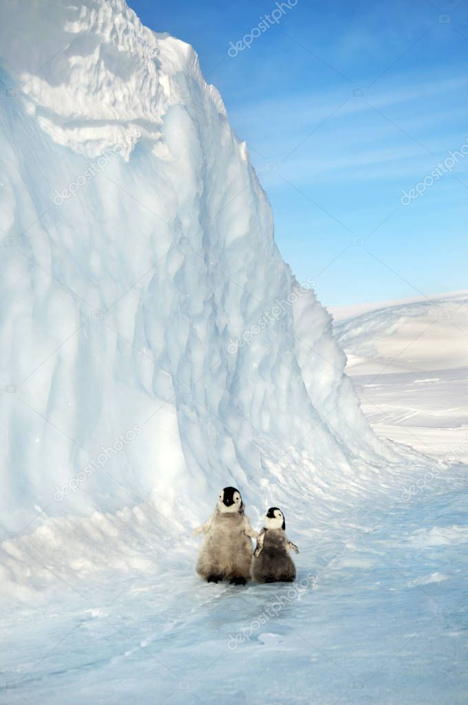 Two small cubs of penguins stand in the snow against the background of the Iceberg. Antarctic.