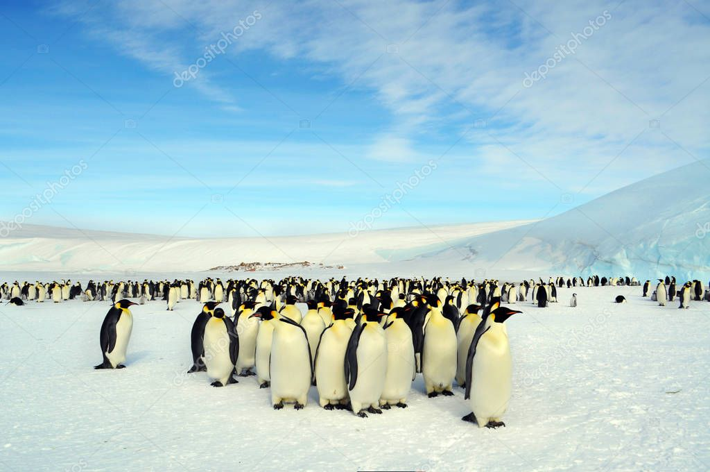 Colony, flock - Emperor Penguins in Antarctica.They stand on a sunny day in the snow or regularly walk through the territory.            Overall plan.