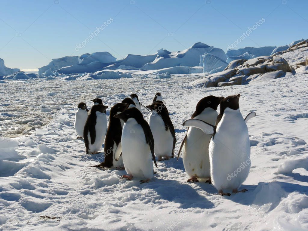 Young adelie penguins walking on stony ground and on white snow in sunny day . Overall plan.