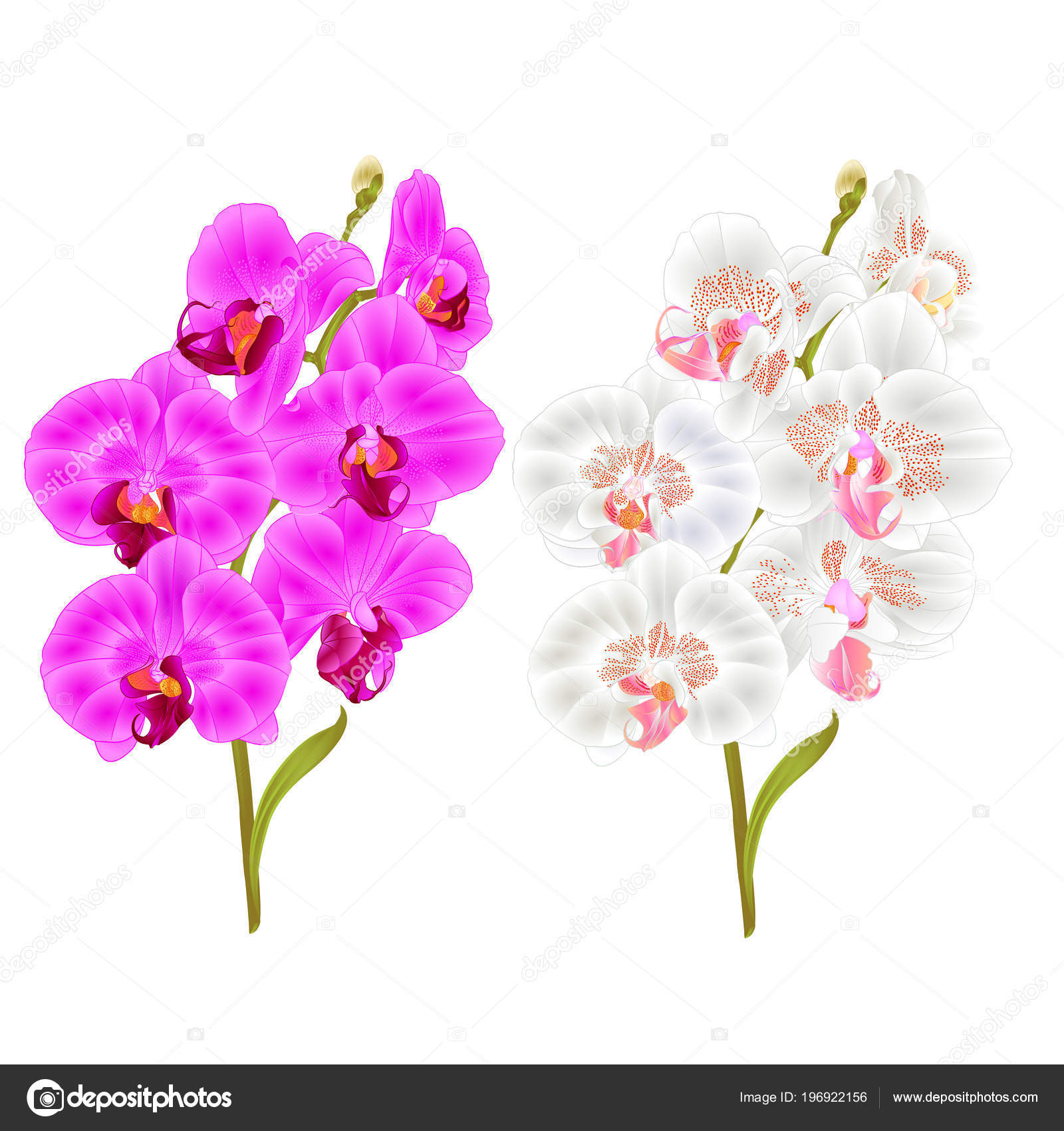 Branches orchid phalaenopsis purple white flowers leaves tropical branches orchid phalaenopsis purple and white flowers and leaves tropical plants stem and buds on a white background vintage vector botanical illustration mightylinksfo