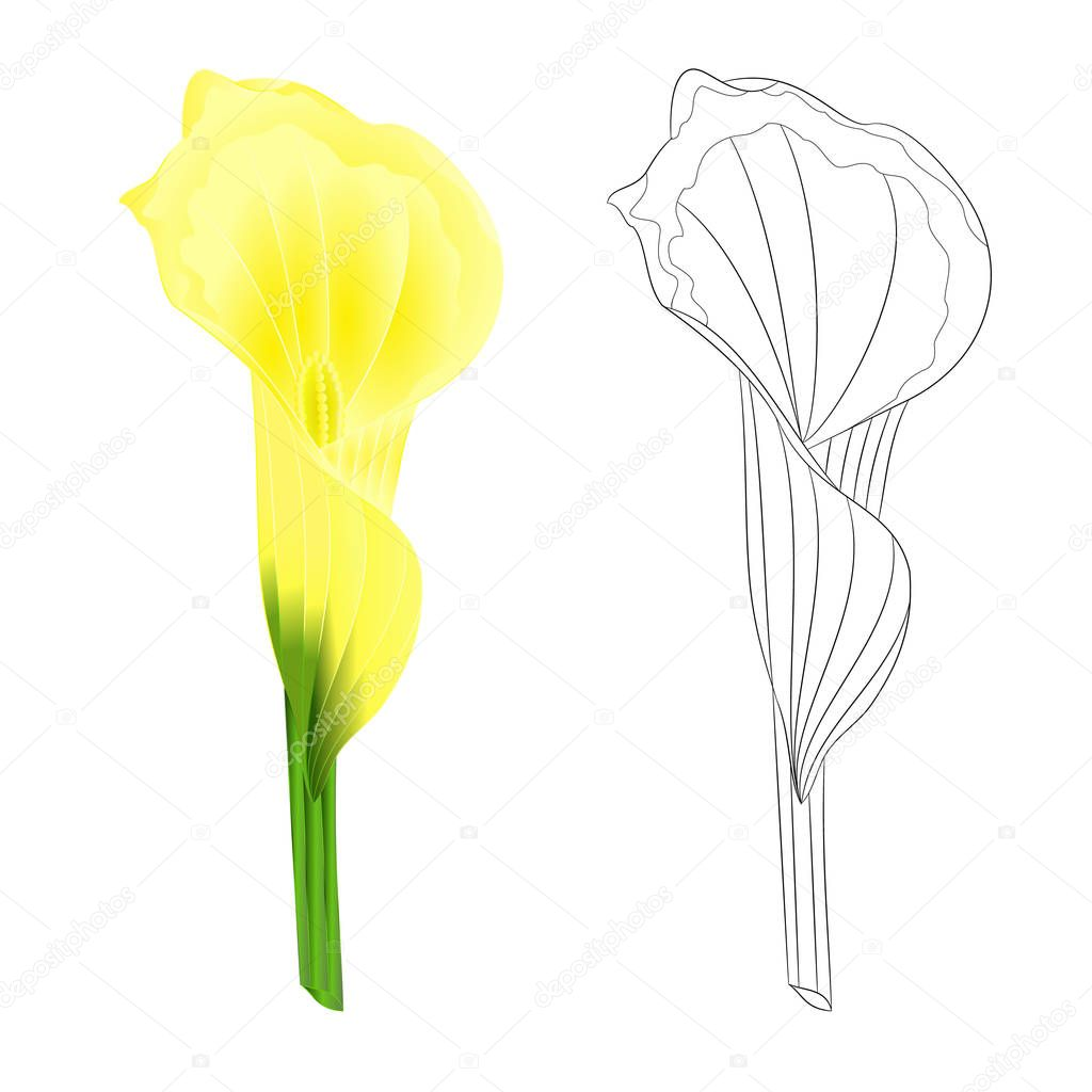 Calla Lily Yellow Flower Herbaceous Perennial Ornamental Plants Natural And Outline On A White Background Vintage Vector Illustration Editable Hand Draw Premium Vector In Adobe Illustrator Ai Ai Format