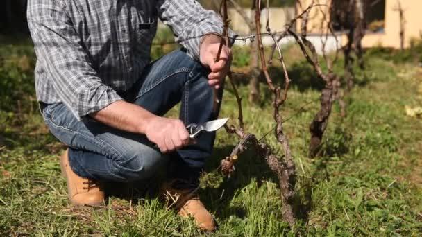Kavkazský farmář pracující ve vinici a prodělávání révy profesionálními nůžkami. Tradiční zemědělství. Záběry