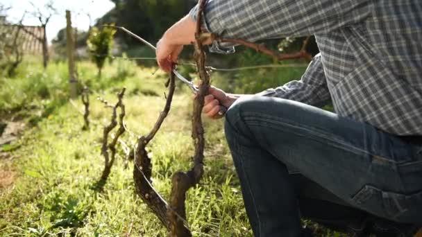 Kaukázusi mezőgazdasági termelő munka a kertben, a szőlő metszés professzionális ollóval. Hagyományos mezőgazdaság. Felvétel