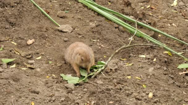 Wild animal cute black tailed prairie dog eating leaf