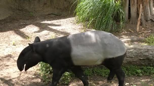 Nature wild life animal cute Malayan Tapir walking around